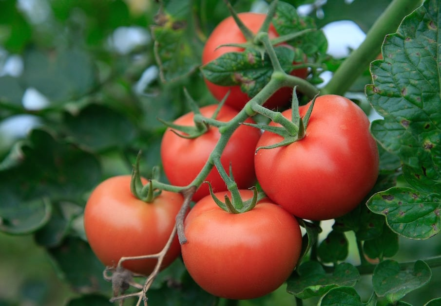 tomatoes - partnership with hoogendoorn